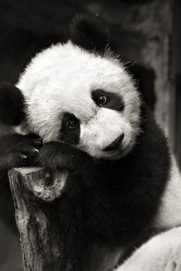 panda007